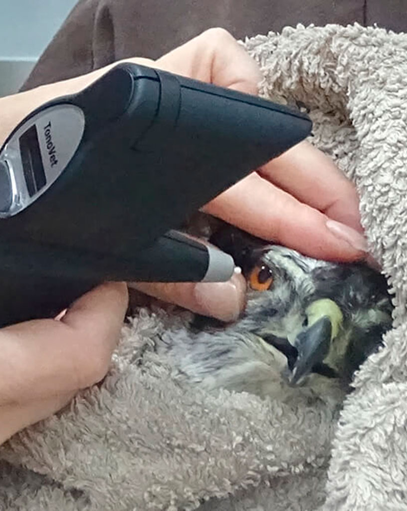 mika-veterinaria-bermeo-oftamolofia-rapazes-aves-aguila